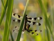 dragonfly: summer ritual