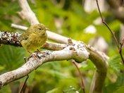 Quiet Warbler