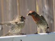 Finch feeds
