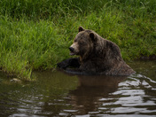 Grizzly in a Pond