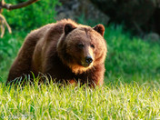 Khutzemateen Grizzly