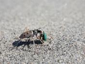 Predator & Prey, Ghost Tiger Beetle