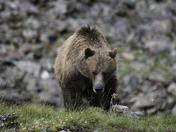 Grizzly Bear on ridge line