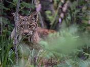 My First Lynx