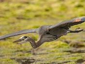 Heron Wingspan