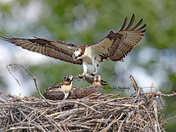 Fish Delivery - Osprey