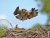 Lift Off - Osprey