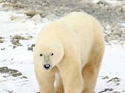 Polar Bear - the look