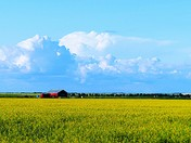 Canola Fields of July