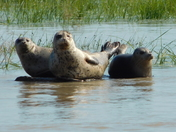 baby seal with parents