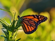 Monarch butterfly feasts on thistle weed