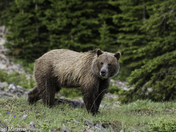 Rocky Mountain Grizzly