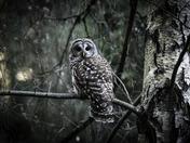 Barred Owl in a Birch