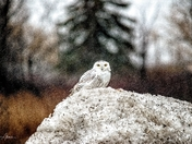 Snowy Owl in a Squall