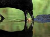 Crow/Peanut