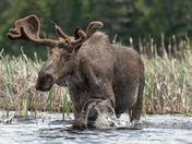 Bull Moose June 2019
