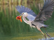 Blue heron catching golden fish