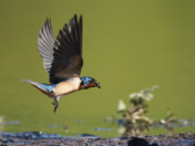 Swallow picking up mud to build nest