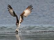 Osprey Hunter