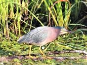 Green Back Heron