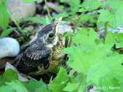 a juvenile varied thrush that just left the nest