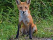 A Young Red Fox