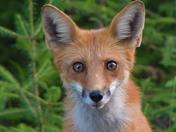Red Fox juvenile