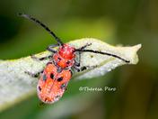 Red Milkweed Beetle with Dew Drops