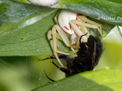 Goldenrod Crab Spider with Dinner