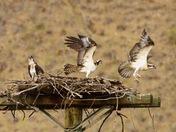 Juvenile Osprey Early Flight