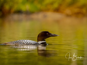 Golden Hour - Common Loon