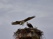 Sibling Osprey