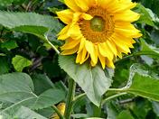 little yellow warbler.. big yellow sunflower