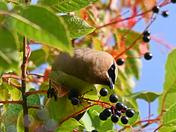 Cedar Waxwing Picking Mayday Berries