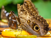 Giant Owl Butterfly eating fruits