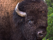 The old Bison bull