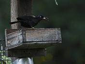 black bird