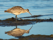 Whimbrel foraging on the beach in Presquile Prov. Park