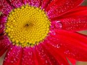 Macro Red Daisy