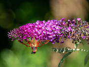 Soaking up the last days of summer (Hummingbird clearwing Moth)