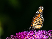 Monarch on the Butterfly bushes