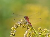 Red Darter