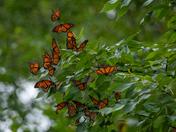 Monarchs o plenty!