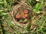 Field Sparrow Babies