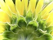 Sun-Lit Sunflower