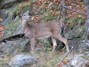 The Graceful White-Tailed Deer