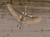 White Egret coming in for a water landing