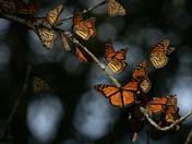 Monarch Butterflies in Presquile Prov. Park