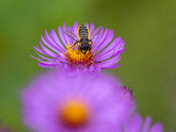 Leafcutter Bee on Aster