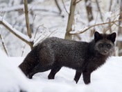 Silver Fox in winter